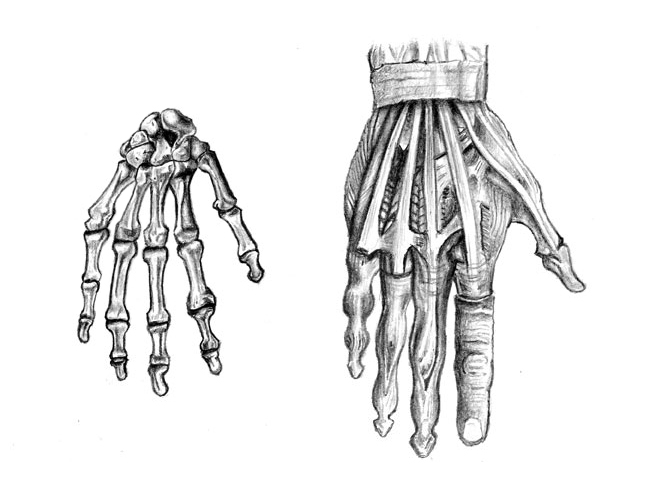 hand_anatomy_by_hobbes82